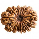 Fifteen Faced Rudraksha