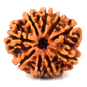 Nine Faced Rudraksha