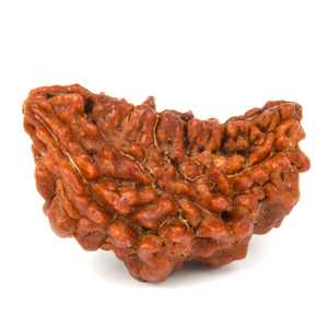 One Faced Rudraksha