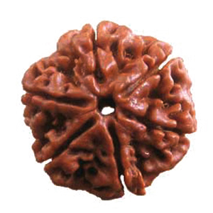 Six Faced Rudraksha